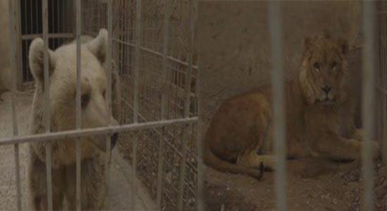 Le lion Simba et l'ours Lula du zoo de Mossoul transférés en Jordanie.