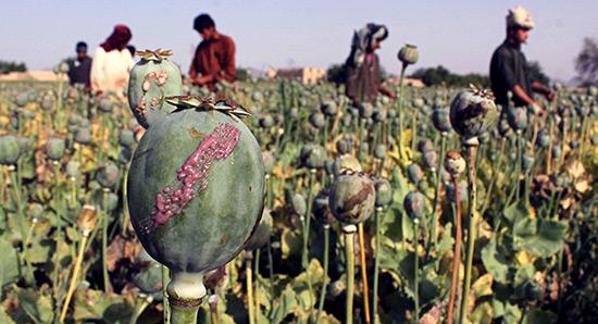 Après le pétrole, l'opium, nouvelle source de financement de «Daech».