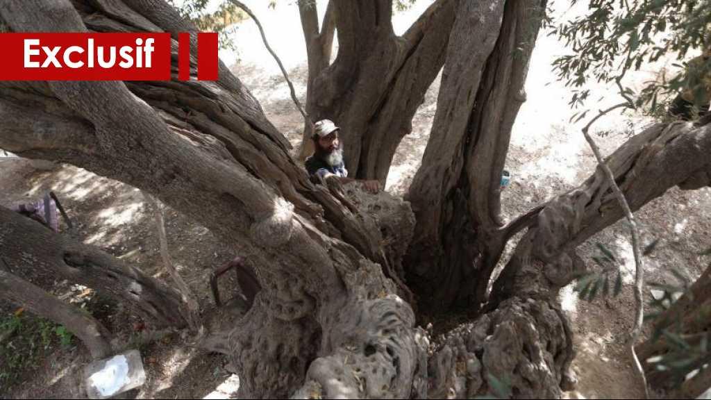 Un arbre palestinien qui résiste à l'occupation
