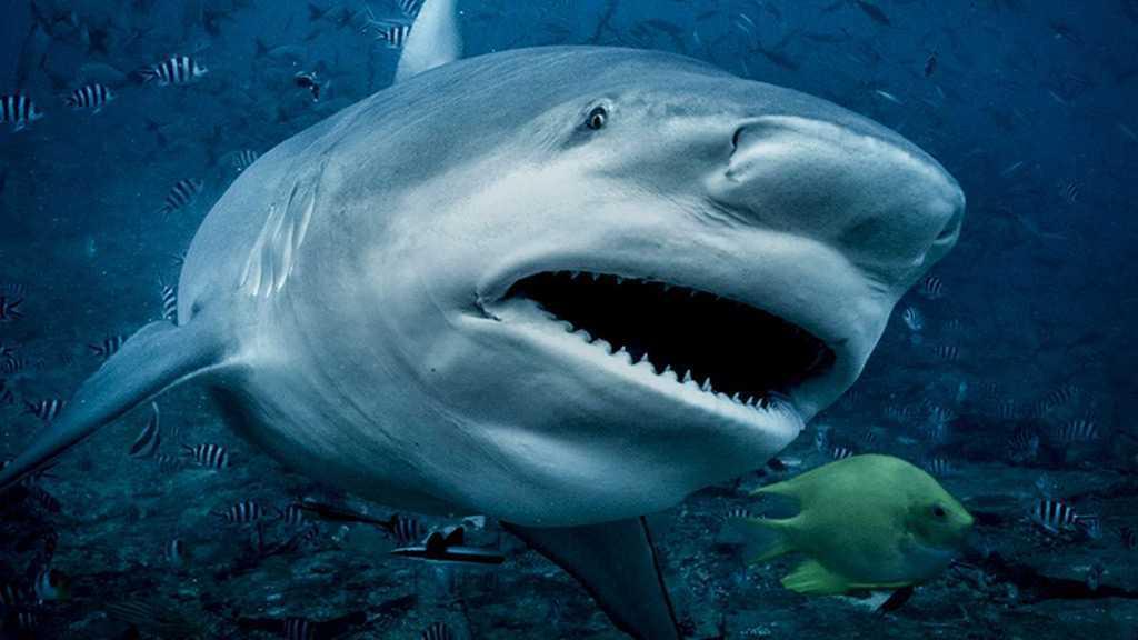 Coronavirus: 500 000 requins pourraient être tués pour produire un vaccin